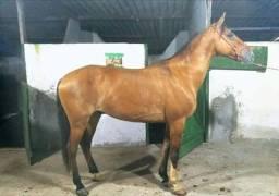 Vendo cavalo baio