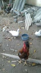 2 Galos e 2 Galinhas caipira/ Casal de Patos