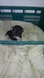 Filhote Chihuahua só neste celular 16992211167