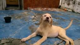 Labrador Femea Pura 5 mess