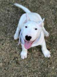Filhote de Bull terrier com 4 meses