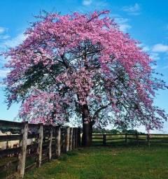 Árvore Paineira Rosa