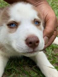 Husky Siberiano Belíssimos Filhotes Pedigree na Entrega