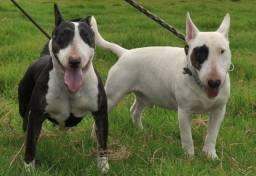 Procuro filhotes de Bull Terrier