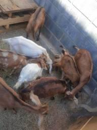 Cabras cabritos e frango caipira