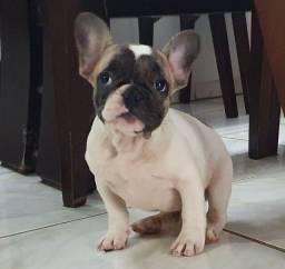 Título do anúncio: Bulldog fracês (macho)