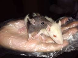 "Ratos Twister ""Filhotes"""