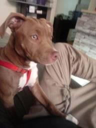 Pitbull pura 3 meses e meio