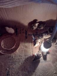 Título do anúncio: Filhotes de galinha de  Angola