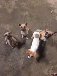 Doação de cachorrinhos filhote vira-lata.