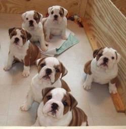 Bulldog Inglês branco/malhado/vermelho/red brindle, com garantias genéticas e suporte vet!