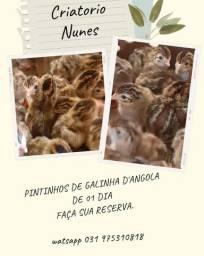Chegou Pintinhos de galinha D'Angola