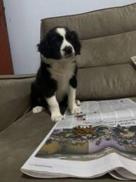 Título do anúncio: Border Collie