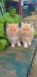 Casal de gêmeos persas (fêmea e macho)