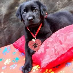 Título do anúncio: Labrador fêmea com pedigree casinha nova e acessórios