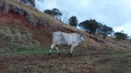 Vendo vaca ?
