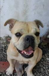 Título do anúncio: Bulldog Inglês fêmia