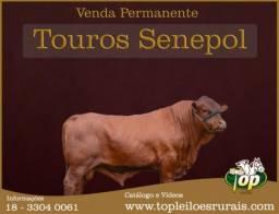 Super reprodutores Senepol PO