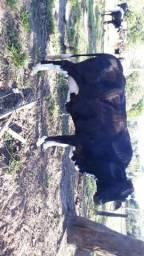 Vacas leiteiras de alta genética e lactação 5/8 e 3/4 sangue
