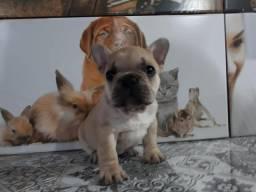 Filhote Bulldog Francês disponível!