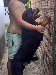 Filhote de Pitbull com Rottweiler