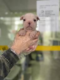 Bulldog Frances filhotes lindos a pronta entrega com garantias de saúde