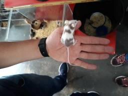 Topolino o menor roedor do Brasil