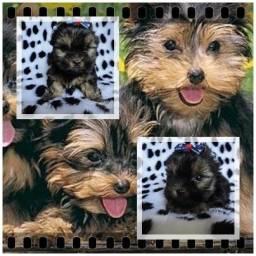 Título do anúncio: Especializados em Yorkshire Terrier