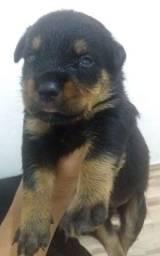 Título do anúncio: Cachorro Rottiwaeiler