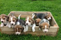 Beagle filhotes, diversão garantida para a família!