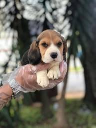 Título do anúncio: Beagle - Dócil
