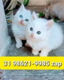 Título do anúncio: Gatil em BH Belos Filhotes de Gatos Angora Siamês ou Persa