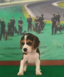 Título do anúncio: Beagles Raça Ideal Para Você E Sua Família Que Busca Um Companheiro Chame Já Canil Império