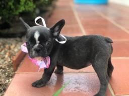 Colina Kennel disponibiliza filhotes de Bulldog francês exótico