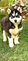 Título do anúncio: Husky Siberiano várias cores disponíveis