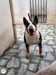 Título do anúncio: Bull Terrier fêmea para adoção responsável