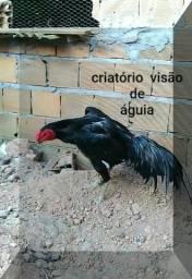 Galo galinha frango pintinhos ou ovos