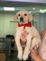 Título do anúncio: Labrador - Amigo fiel