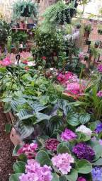 Plantas ornamental