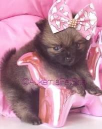 Belíssima Lulu da Pomerânia anã !!!