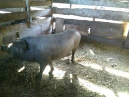 Porcos leitoes