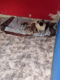 Pug Filhote Fêmea e Macho