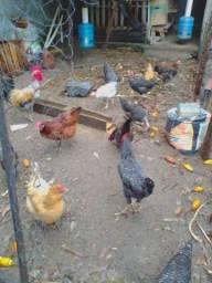 Vendo galinhas e pintinhos