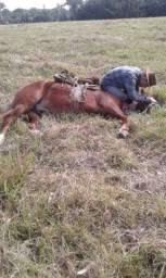 Cavalo mestiço crioulo