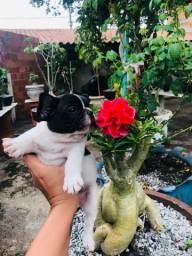 Bulldog francês para venda