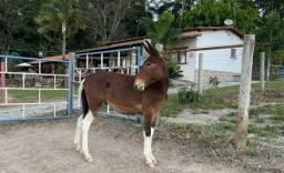 Rancho Paraíso disponibiliza Burro filho de Jumento Pega com Égua Mangalarga Marchador.