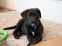 Labrador com 3 meses completo