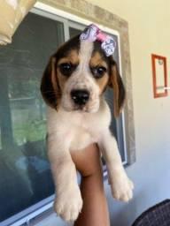 Beagle com pedigree Femea em até 10x sem juros