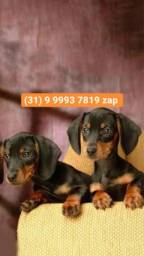 Título do anúncio: Canil filhotes basset,poodle, shihtzu, yorkshire, beagle, lhasa apso