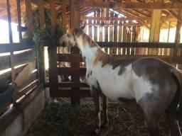 Égua Paint Horse Pura sem papel